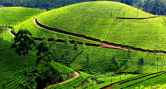 coffee field kerala