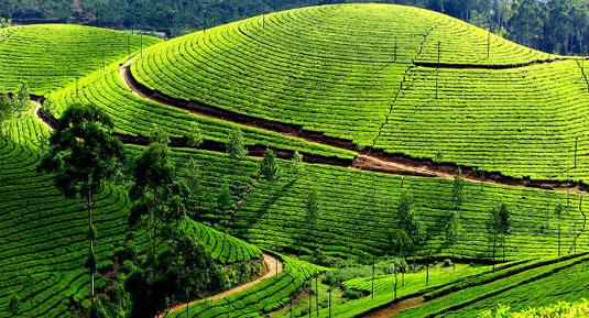 coffee field kerala