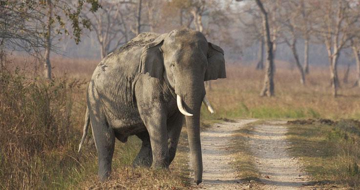 elephant in kaziranga