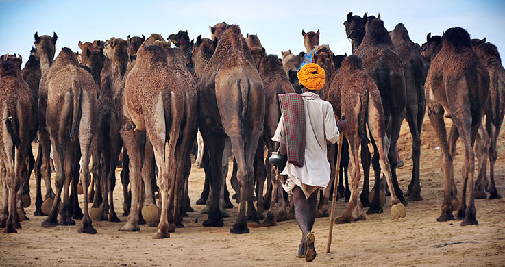 pushkar camel