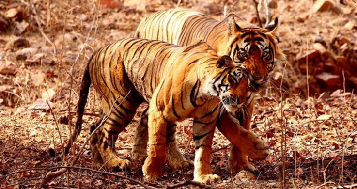 ranthambor tiger