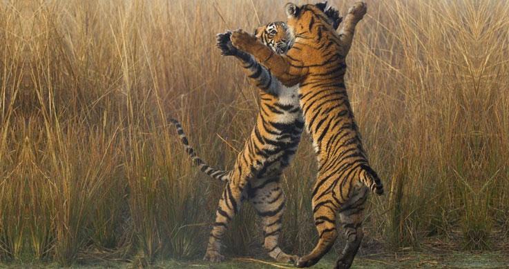 tiger in ranthambor
