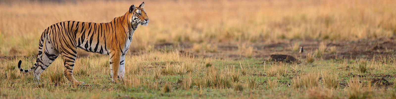Bandhavgarh tiger image