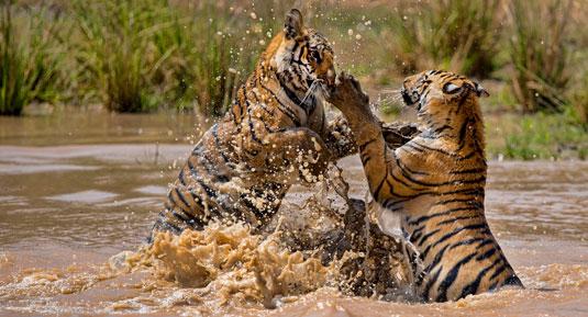 Tiger in bandhavgah