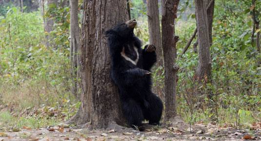 Bear in kanha