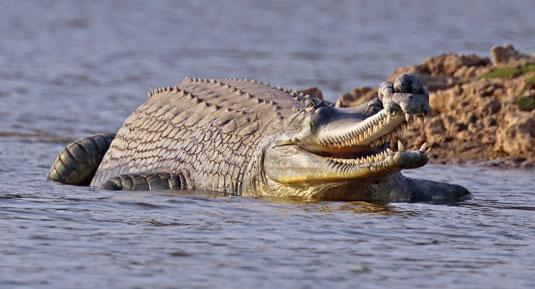 Crocodile in corbett national park