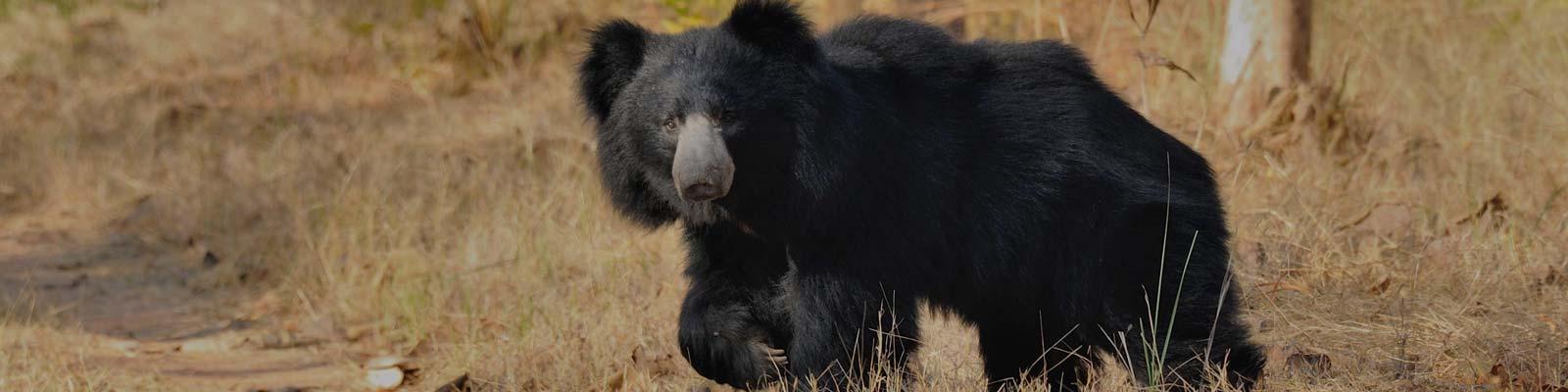 Bear in kanha national park