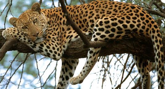 leopards in ranthambor