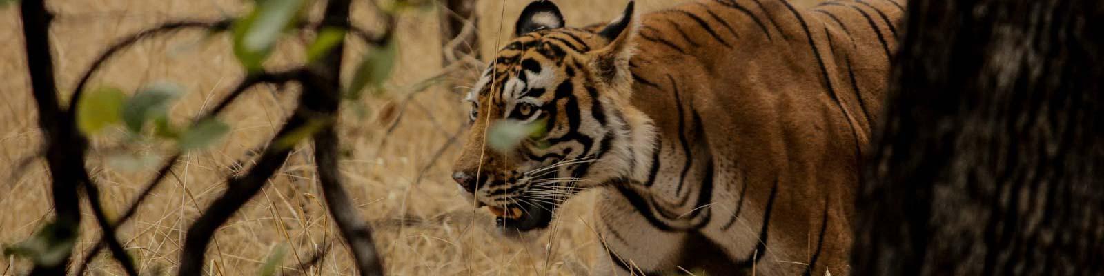 ranthambor tiger featured