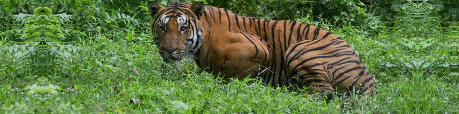 Tiger in sariska