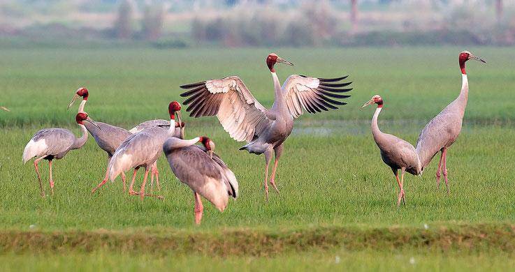 chambal bird