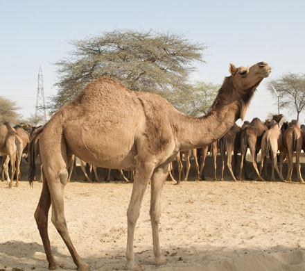 Camel Research Center Bikaner