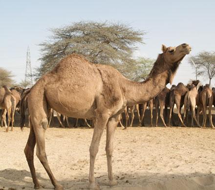 Camel Research Center Bikaner