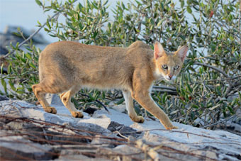 Sariaks national park Jungle Cat