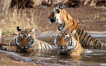 Ranthambore National Park of tiger in splendors of Rajasthan