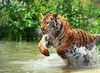 Plan a tiger's trail
