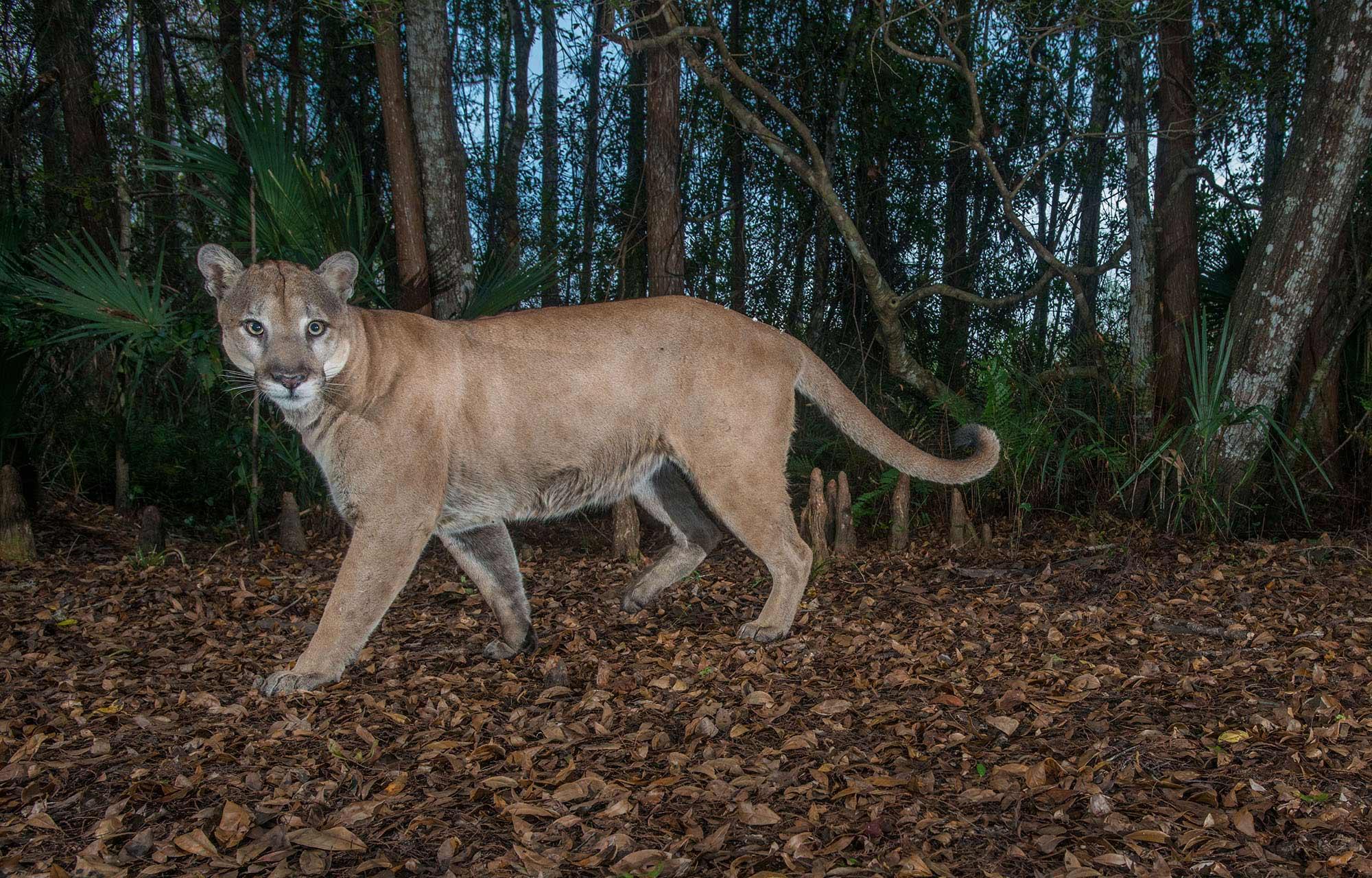 panther inBagdara Wildlife Sanctuary