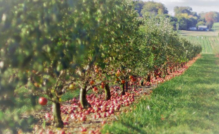 Visit apple orchards in shrinagar