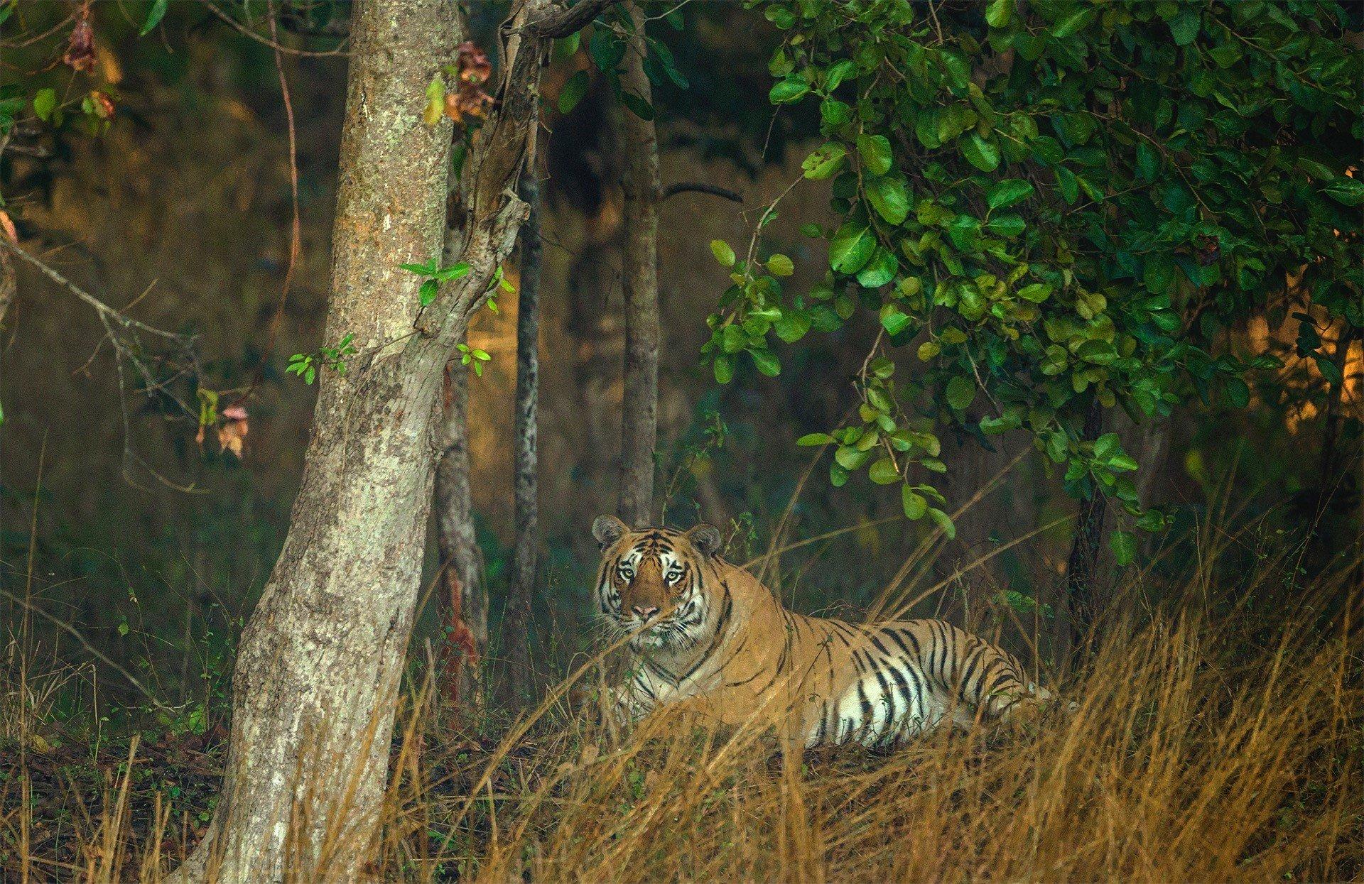 sambhar in Pench National Park