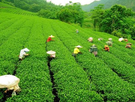 guided tour through the tea estates in Darjeeling