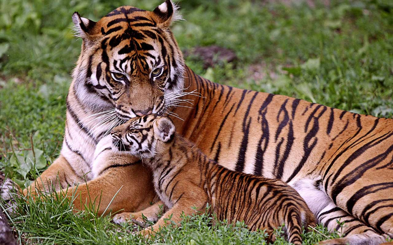 corbett National Park tiger in safari trip to corbett