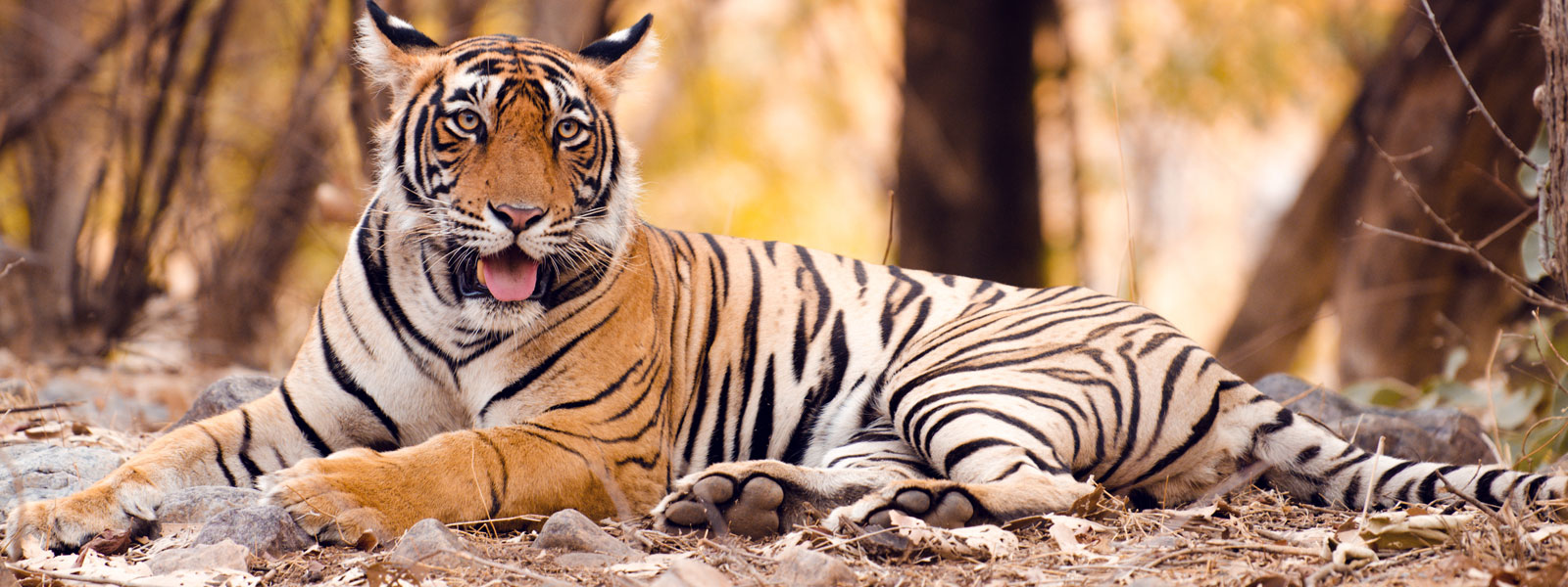 Tiger Ranthambore Tourism