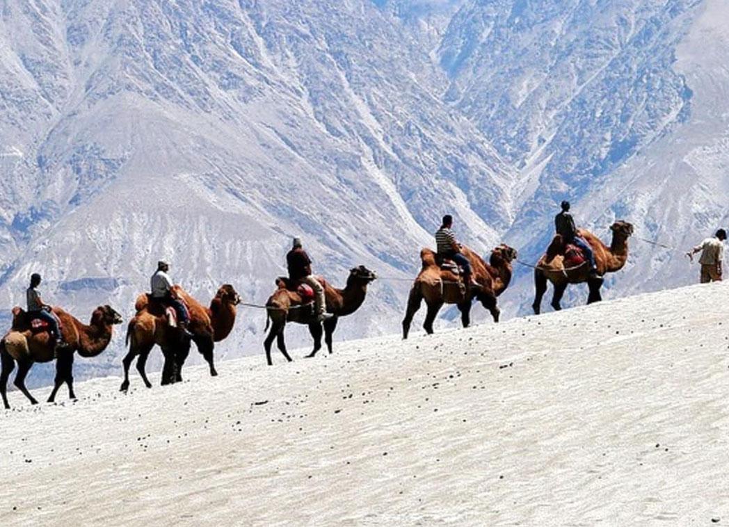 Camel safari in Ladakh