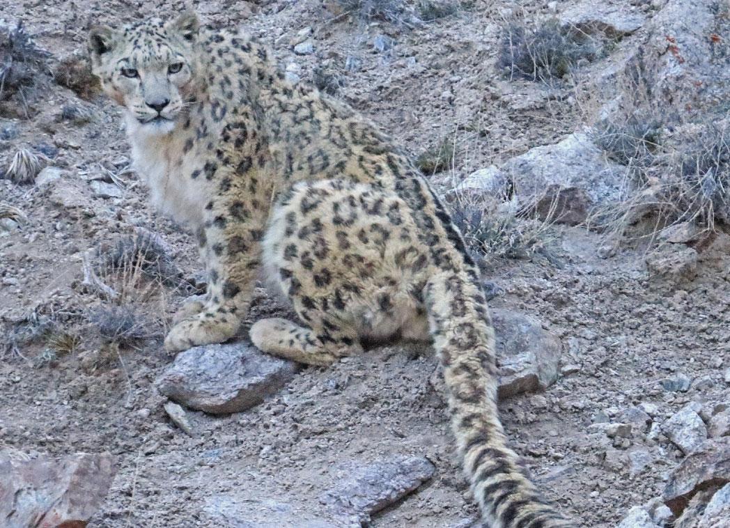 Spot Snow Leopard